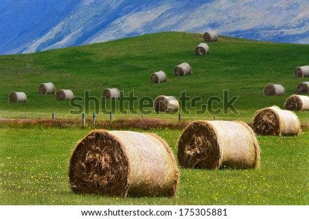 Yellow wheat rolls on a green field in Otago, New Zealand. - stock photo