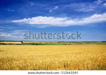 Yellow wheaten field and blue sky - stock photo