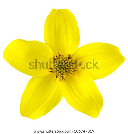 Yellow Wild Flower with Five Petals Isolated on White Background - stock photo