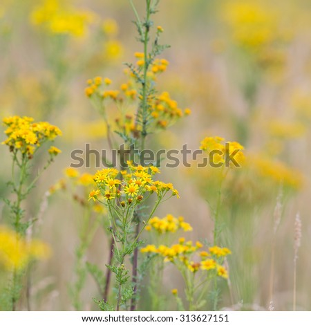 Yellow wild ragwordt in the fields - stock photo