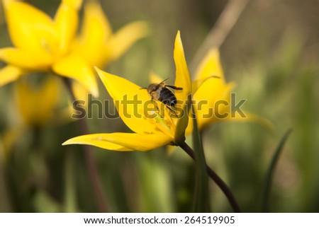 Yellow wild tulip (Bieberstein Tulip) in its natural habitat with bee - stock photo