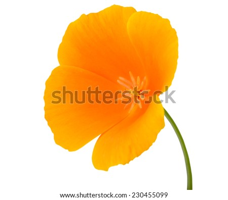 Yellow Wildflower Flower with Orange center on Green Stick Isolated on White Background - stock photo