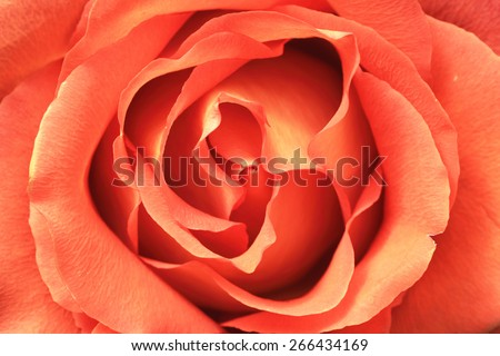 Yellow with orange rose,closeup image of beautiful rose in full bloom in spring - stock photo