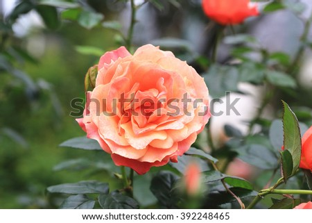 Yellow with orange roses,beautiful roses in full bloom in the garden in spring,closeup