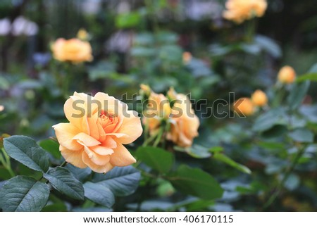 Yellow with orange roses,beautiful roses in full bloom in the garden in spring,closeup - stock photo