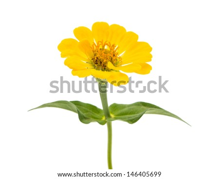 Yellow zinnia isolated on white background