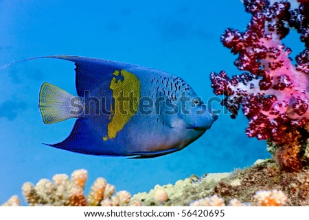 Yellowbar Angelfish and red soft coral - stock photo