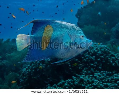 Yellowbar Angelfish Pomacanthus maculosus  - stock photo
