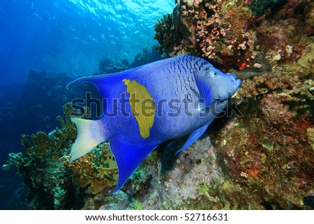 Yellowbar Angelfish (Pomacanthus maculosus) feeding on coral polyps in the Red Sea - stock photo