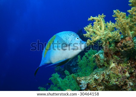 Yellowbar Angelfish (Pomacanthus maculosus) feeds on Nephtheidae soft coral