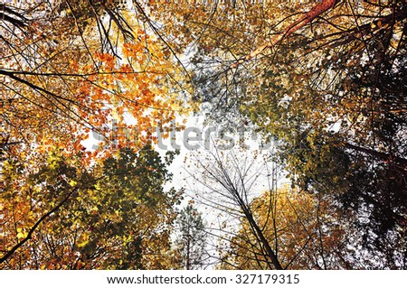 Yellowed branches of forest trees extend to the grey cloudy sky in autumn  day - autumn landscape, vintage tones, view from below - stock photo