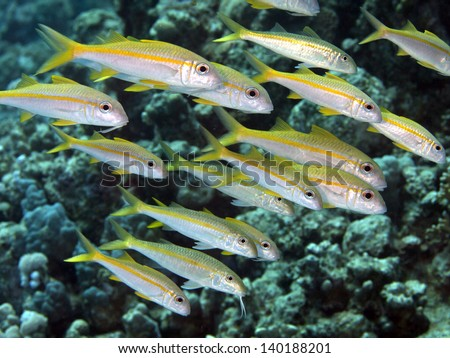 Yellowfin goatfish in red sea