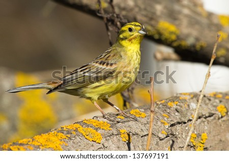 Yellowhammer on the branch