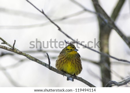 Yellowhammer sitting on a branch in the forest