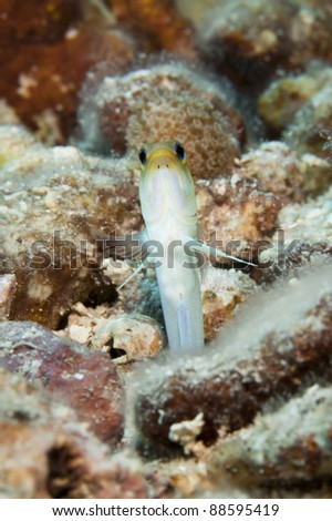 Yellowhead Jawfish (Opistognathus aurifrons) on a tropical coral reef off the island of Roatan, Honduras. - stock photo