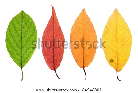 Yellowing leaf stage - stock photo