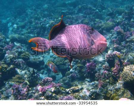 Yellowmargin triggerfish and coral - stock photo