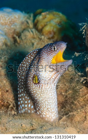 Yellowmouth Moray Eel with its mouth open sticking out of a coral hole - stock photo