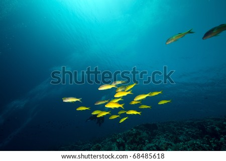 Yellowsaddle goatfish in the Red Sea.