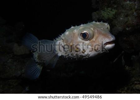 Yellowspotted burrfish - stock photo