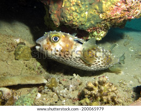 Yellowspotted burrfish (diodontidae) under coral ledge - stock photo
