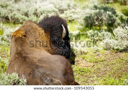 Yellowstone American Buffalo Relaxing in the Sun. Yellowstone National Park, Wyoming, USA. Wildlife Photo Collection. - stock photo