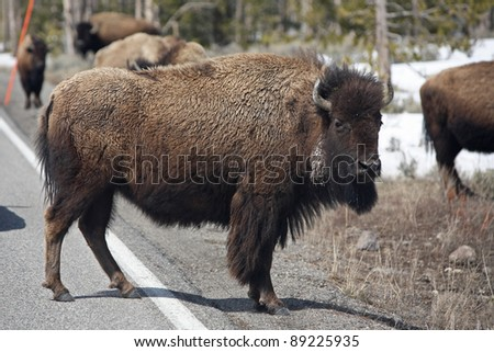 Yellowstone bison are comfortable sharing the road with cars - stock photo