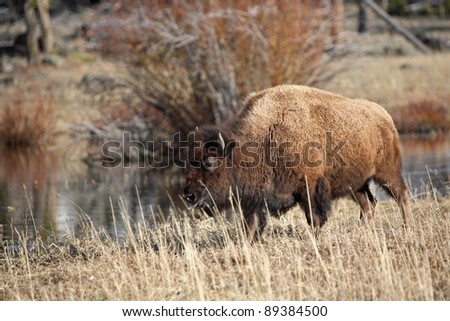Yellowstone bison is eating - stock photo