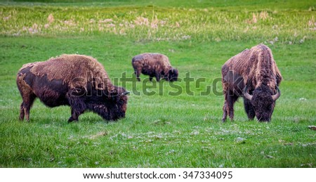 Yellowstone National Park bison grazing in Hayden Valley.  Yellowstone National Park, Wyoming USA. - stock photo