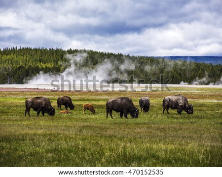 Yellowstone National Park, Montana, Meadow Bison.
