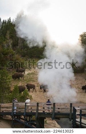 Yellowstone national park, Wyoming - July 12 : tourist photographing wild bison next to a trail; July 12 2014 in Yellowstone national park, Wyoming - stock photo