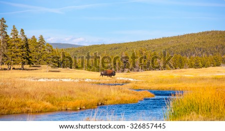 Yellowstone National Park, Wyoming.  Lone Bison Buffalo crossing a river in a golden field. - stock photo