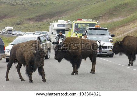 YELLOWSTONE, USA - AUGUST 18: bison on August 18, 2007 in Yellowstone: jam on the highway due to the presence of bison. The road kills of bison pose a serious problem in the park. - stock photo