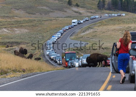 Yellowstone, Wyoming - August 12, 2013: Bison crosses road causing traffic jam in the Yellowstone National Park - stock photo