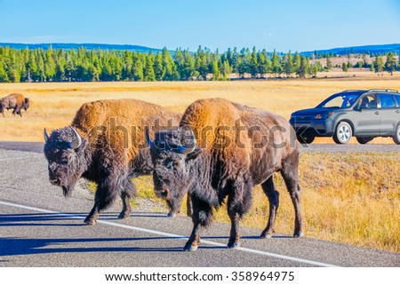 Yellowstone, Wyoming.  Buffalo Bison crossing the road. - stock photo