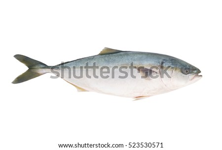 Yellowtail amberjack fish isolated on white background.