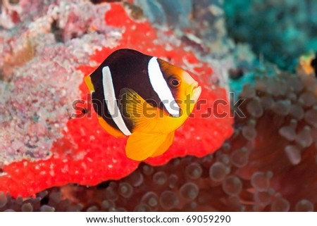 Yellowtail clownfish - stock photo