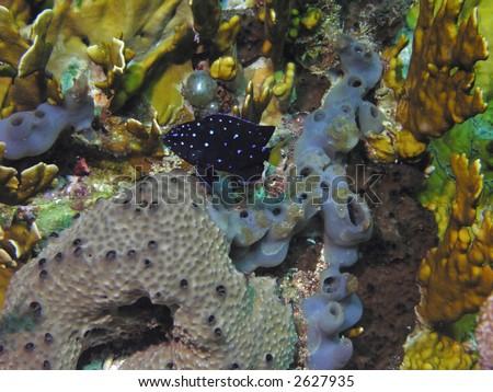 Yellowtail Damselfish with Sponges - stock photo