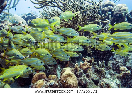 yellowtail snapper, Ocyurus chrysurus, is an abundant species of snapper found along the North American coast of the Atlantic Ocean.  - stock photo