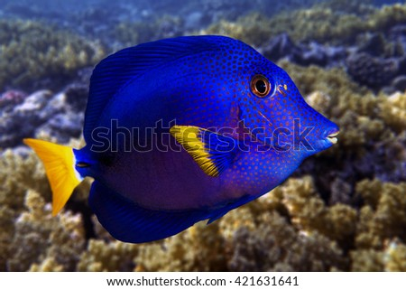 Yellowtail tang_(Zebrasoma xanthurum) and coral reef - Red Sea