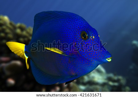 Yellowtail tang_(Zebrasoma xanthurum) close up  and coral reef - Red Sea