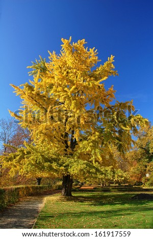Yellowy Ginkgo tree in Indian summer during sunshine