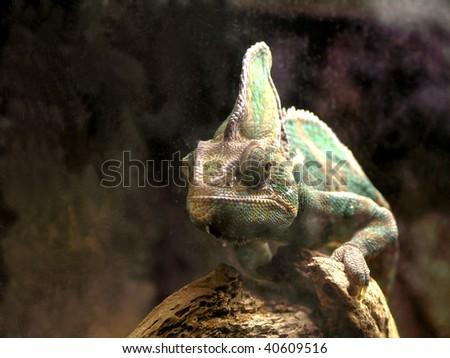 Yemen chameleon (Chamaeleo calyptratus) - stock photo