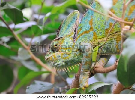 Yemen Chameleon watching between green leaves - stock photo