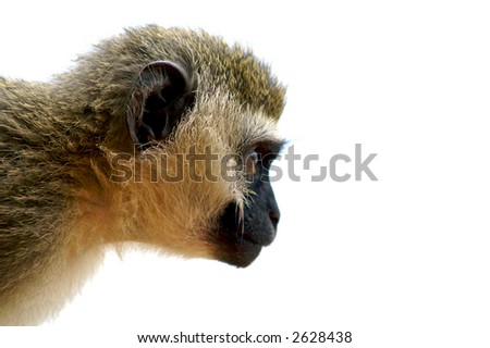Yep it's a monkey. - stock photo