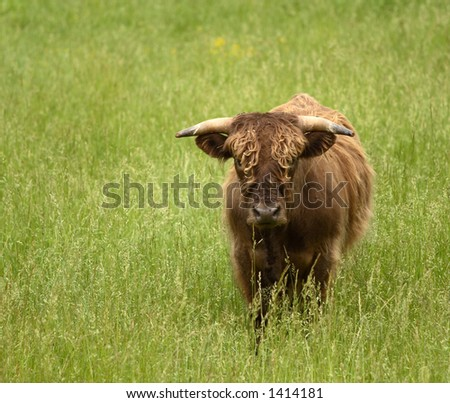 Yes Bull - stock photo