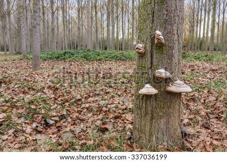 Yesqueros fungi on poplar trunk. Fomes fomentarius. - stock photo