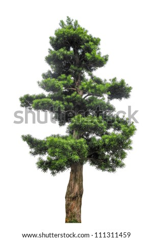 yew podocarpus with white background,buddhist pine is highly regarded as a feng shui tree in Hong Kong, giving it a very high market value. - stock photo