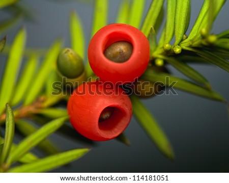Yew - taxus baacata - stock photo