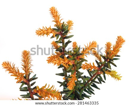Yew tree branches with young shoots on spring on white background         - stock photo